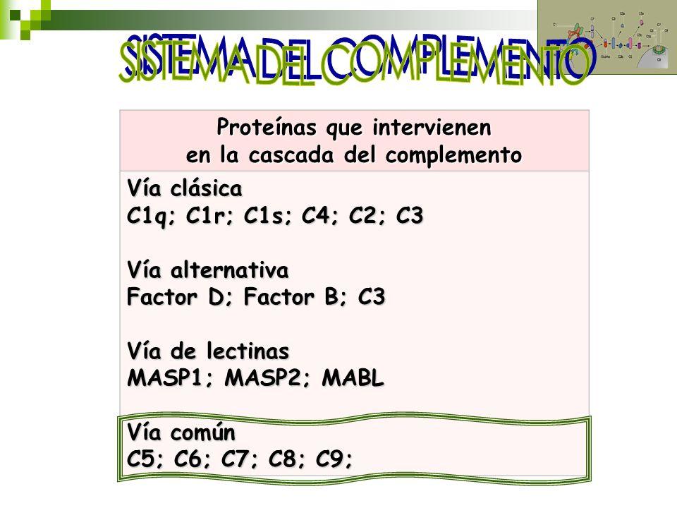 Proteínas que intervienen en la cascada del complemento Vía clásica C1q; C1r; C1s; C4; C2; C3 Vía alternativa Factor D; Factor B; C3 Vía de lectinas M