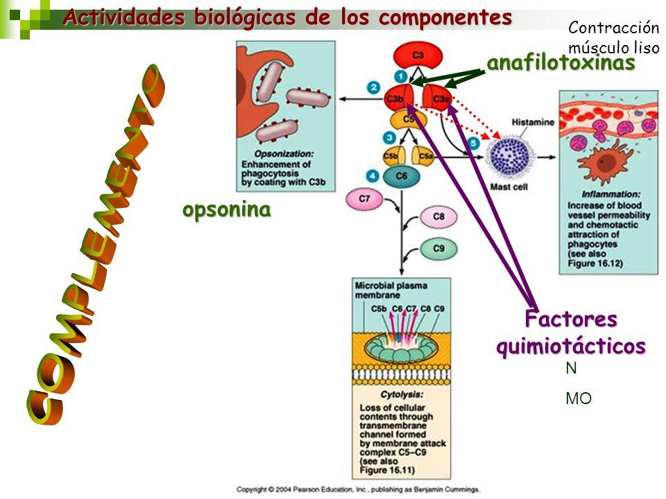 Actividades biológicas de los componentes anafilotoxinas opsonina Factores quimiotácticos N MO Contracción músculo liso