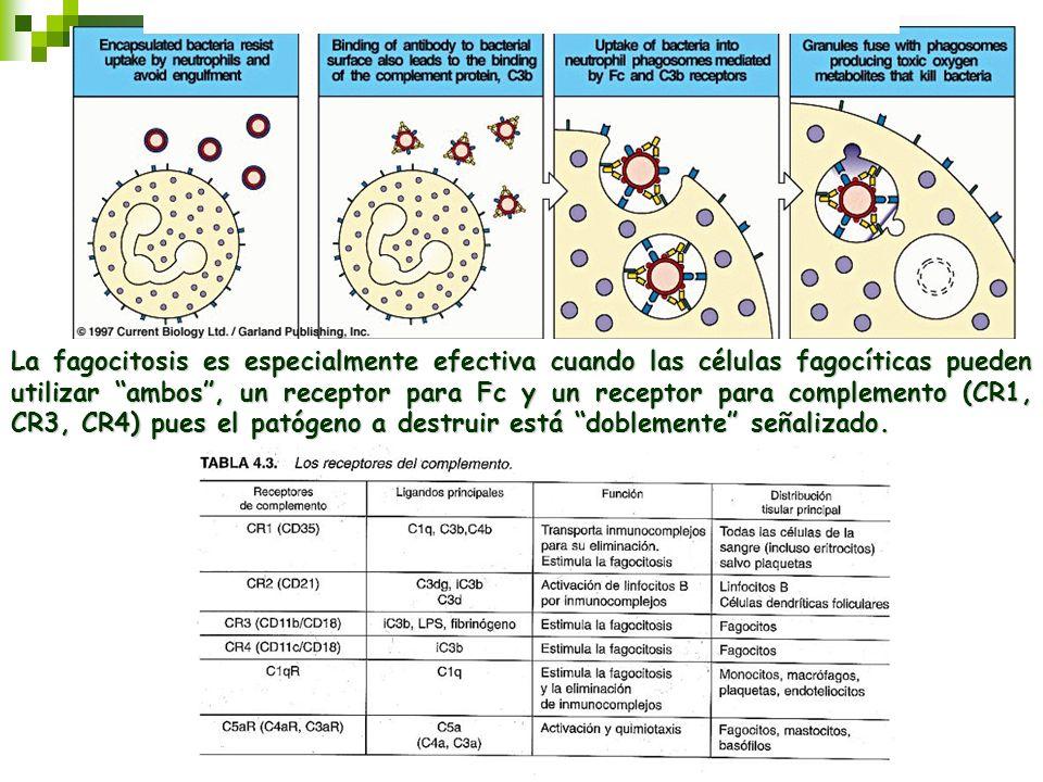 La fagocitosis es especialmente efectiva cuando las células fagocíticas pueden utilizar ambos, un receptor para Fc y un receptor para complemento (CR1
