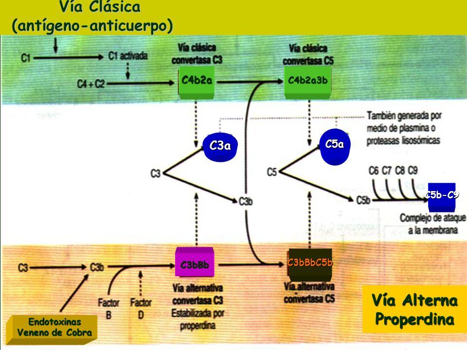 C3a C5a C5b-C9 C4b2a3bC4b2a Vía Clásica Vía Clásica(antígeno-anticuerpo) Vía Alterna Properdina C3bBbC5b C3bBb Endotoxinas Veneno de Cobra