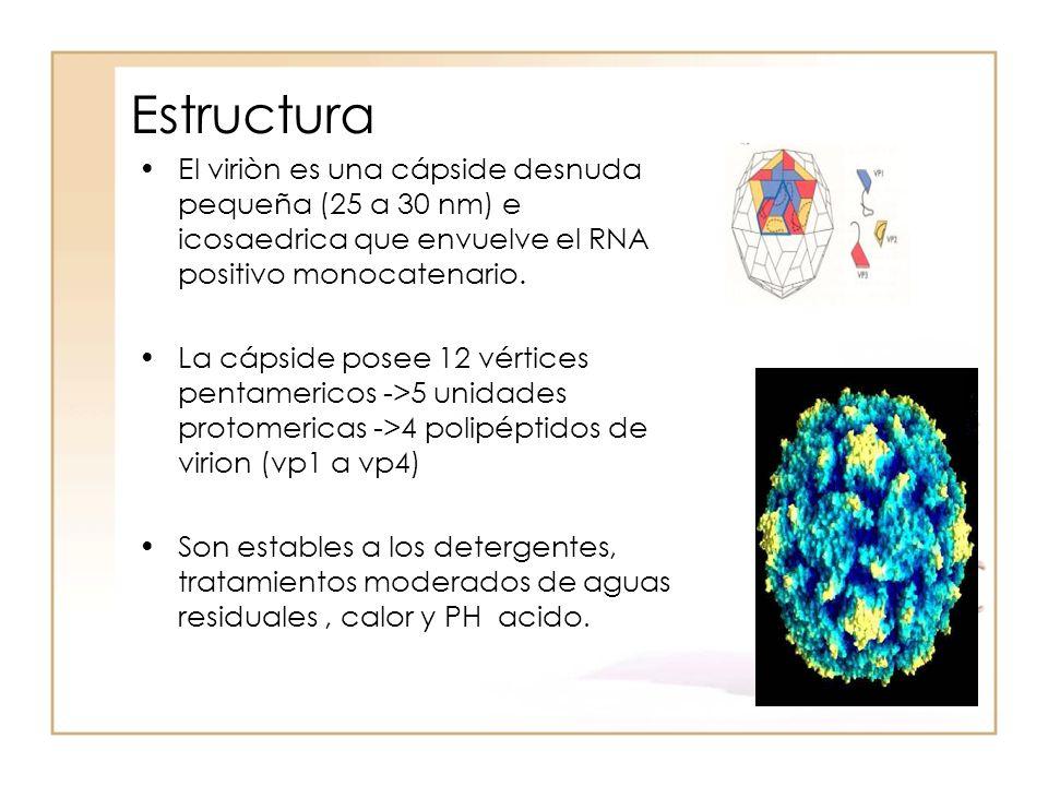 Estructura El viriòn es una cápside desnuda pequeña (25 a 30 nm) e icosaedrica que envuelve el RNA positivo monocatenario. La cápside posee 12 vértice