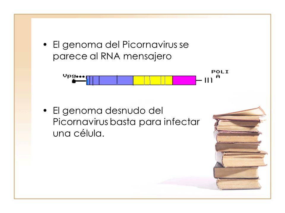 El genoma del Picornavirus se parece al RNA mensajero El genoma desnudo del Picornavirus basta para infectar una célula.