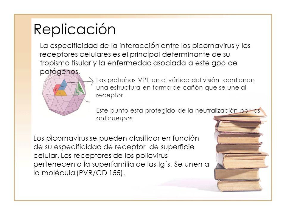 Replicación Las proteínas VP1 en el vértice del visión contienen una estructura en forma de cañón que se une al receptor. Este punto esta protegido de