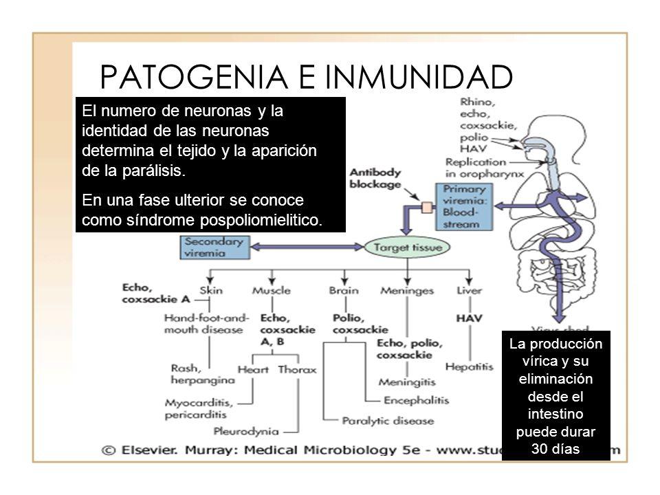PATOGENIA E INMUNIDAD El numero de neuronas y la identidad de las neuronas determina el tejido y la aparición de la parálisis. En una fase ulterior se