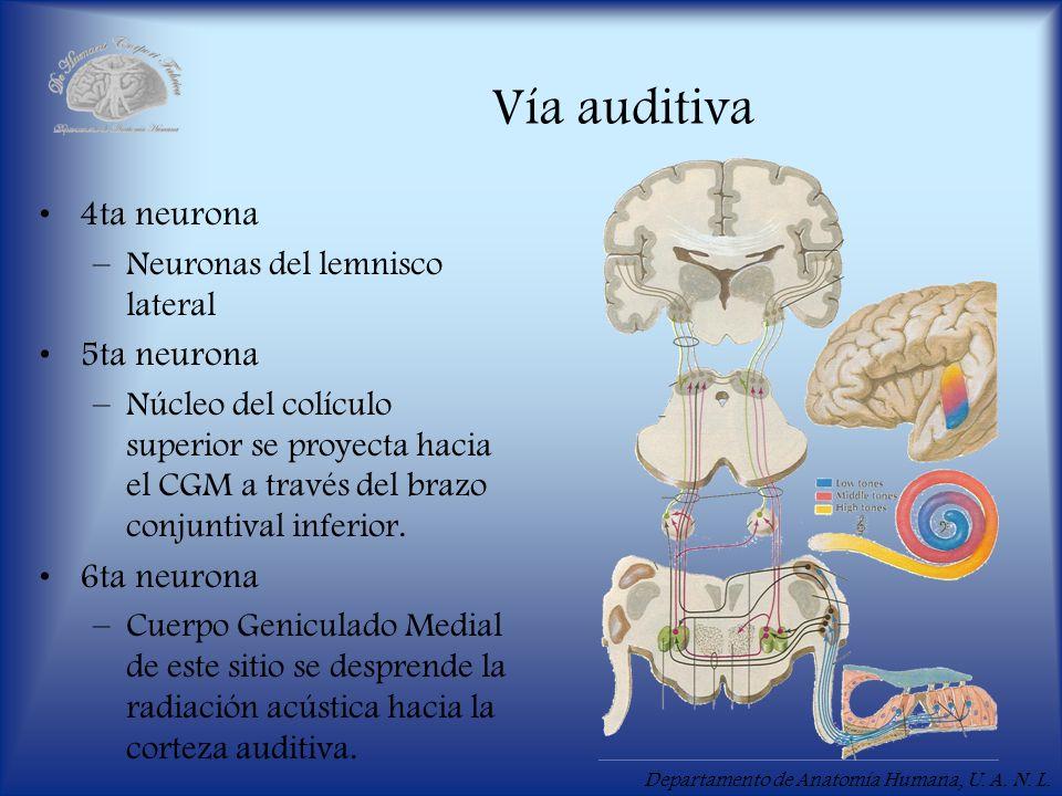 Departamento de Anatomía Humana, U.A. N. L. Vía auditiva 6ta neurona: –Núcleos vestibulares.
