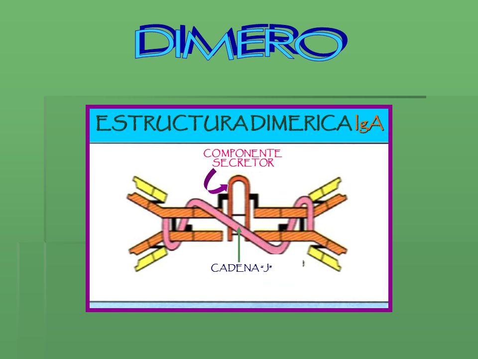 ESTRUCTURA DIMERICA IgA CADENA J COMPONENTESECRETOR