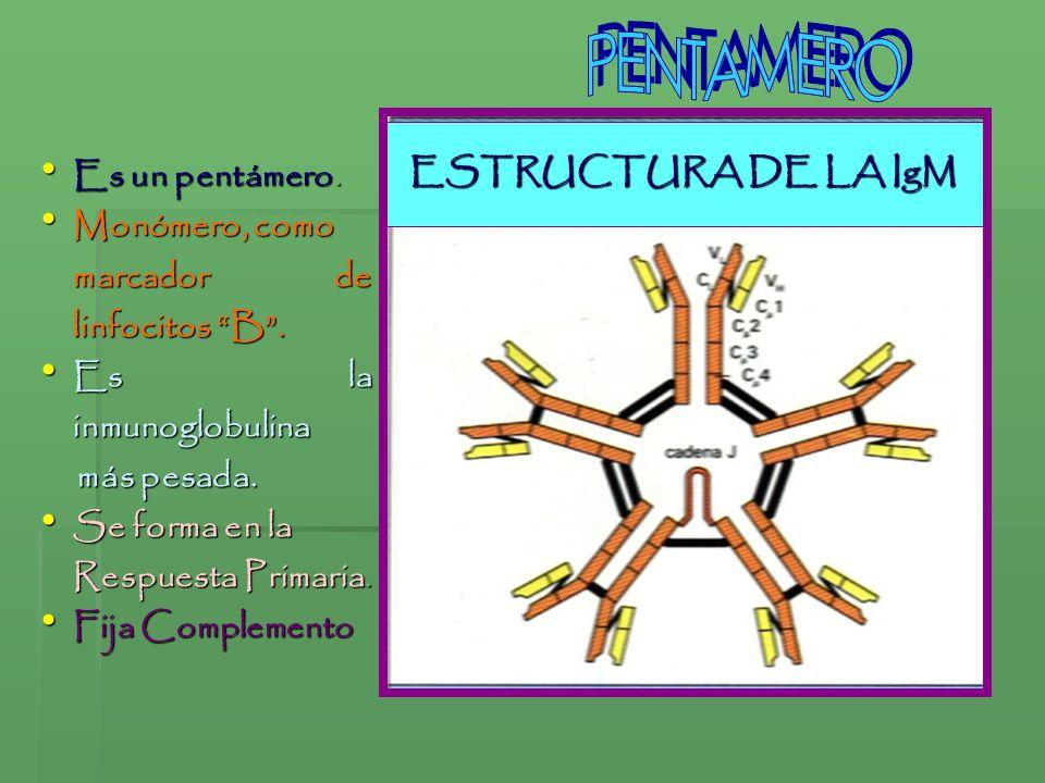 ESTRUCTURA DE LA IgM Es un pentámero. Es un pentámero. Monómero, como Monómero, como marcador de linfocitos B. Es la inmunoglobulina Es la inmunoglobu