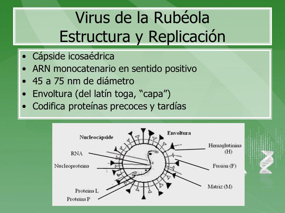 Virus de la Rubéola Estructura y Replicación Cápside icosaédrica ARN monocatenario en sentido positivo 45 a 75 nm de diámetro Envoltura (del latín tog