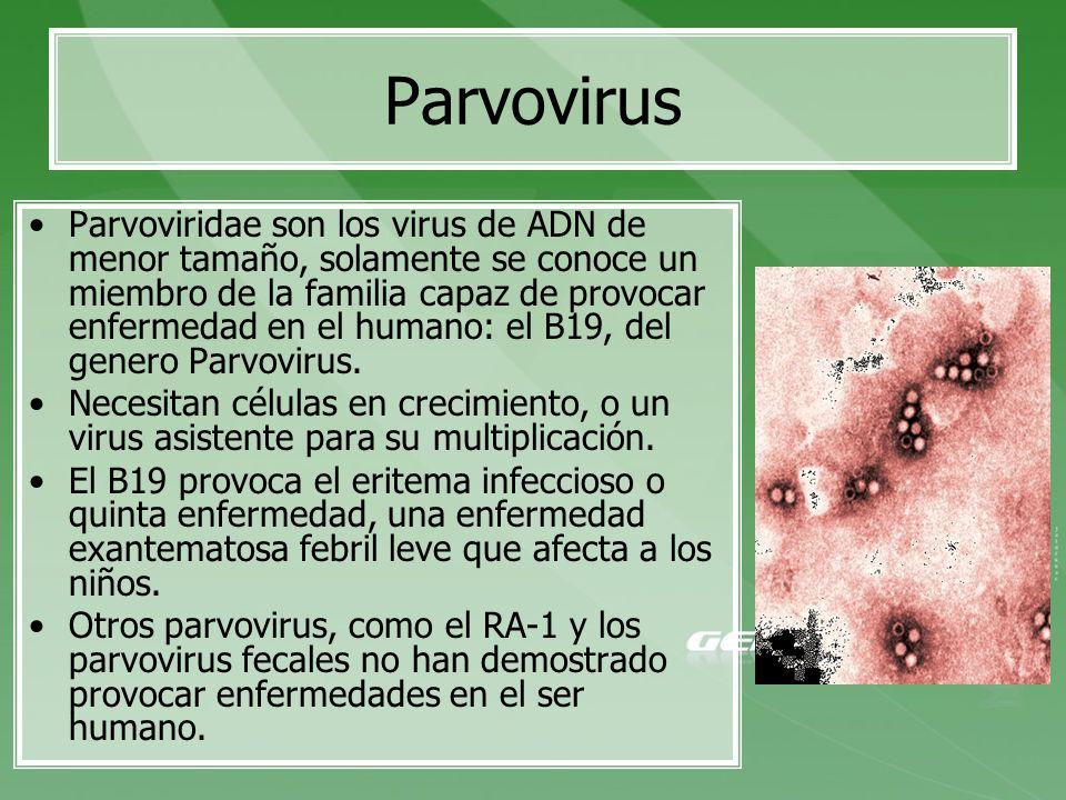 Parvoviridae son los virus de ADN de menor tamaño, solamente se conoce un miembro de la familia capaz de provocar enfermedad en el humano: el B19, del
