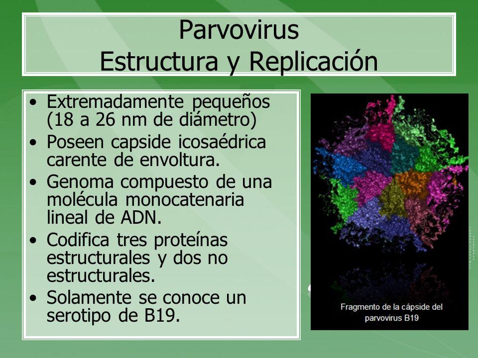 Parvovirus Estructura y Replicación Extremadamente pequeños (18 a 26 nm de diámetro) Poseen capside icosaédrica carente de envoltura. Genoma compuesto
