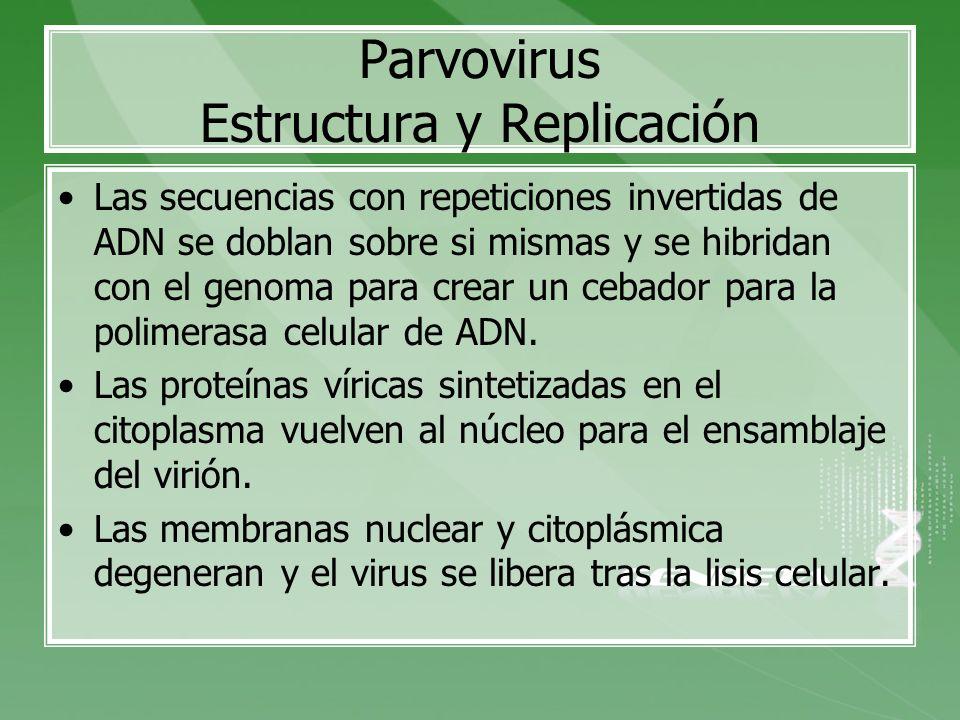 Parvovirus Estructura y Replicación Las secuencias con repeticiones invertidas de ADN se doblan sobre si mismas y se hibridan con el genoma para crear