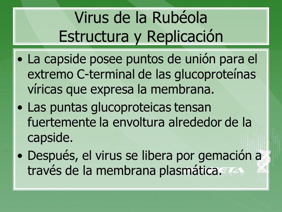 Virus de la Rubéola Estructura y Replicación La capside posee puntos de unión para el extremo C-terminal de las glucoproteínas víricas que expresa la