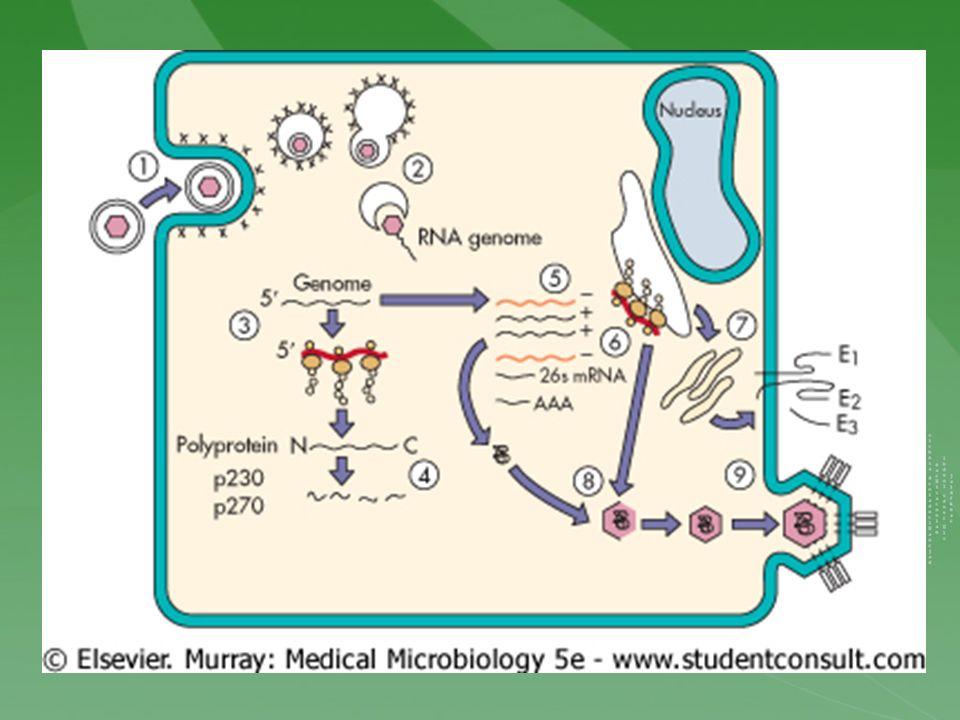 Virus de la Rubéola Patogenia e Inmunidad Infecta las vías respiratorias superiores y después se extiende hasta los ganglios linfáticos locales.