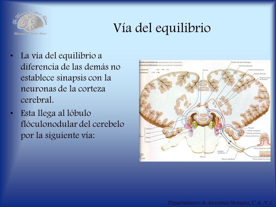 Departamento de Anatomía Humana, U. A. N. L. Vía del equilibrio La vía del equilibrio a diferencia de las demás no establece sinapsis con la neuronas