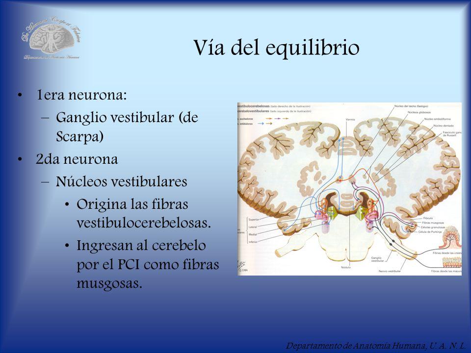 Departamento de Anatomía Humana, U. A. N. L. Vía del equilibrio 1era neurona: –Ganglio vestibular (de Scarpa) 2da neurona –Núcleos vestibulares Origin