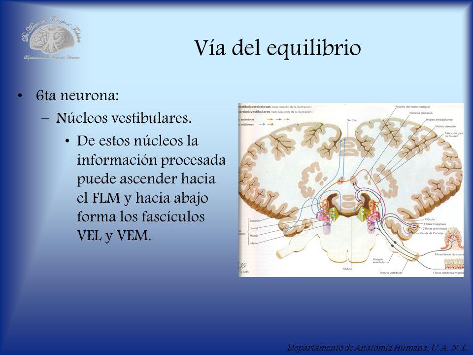 Departamento de Anatomía Humana, U. A. N. L. Vía del equilibrio 6ta neurona: –Núcleos vestibulares. De estos núcleos la información procesada puede as