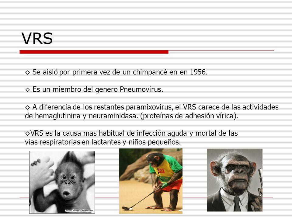 VRS Se aisló por primera vez de un chimpancé en en 1956. Es un miembro del genero Pneumovirus. A diferencia de los restantes paramixovirus, el VRS car
