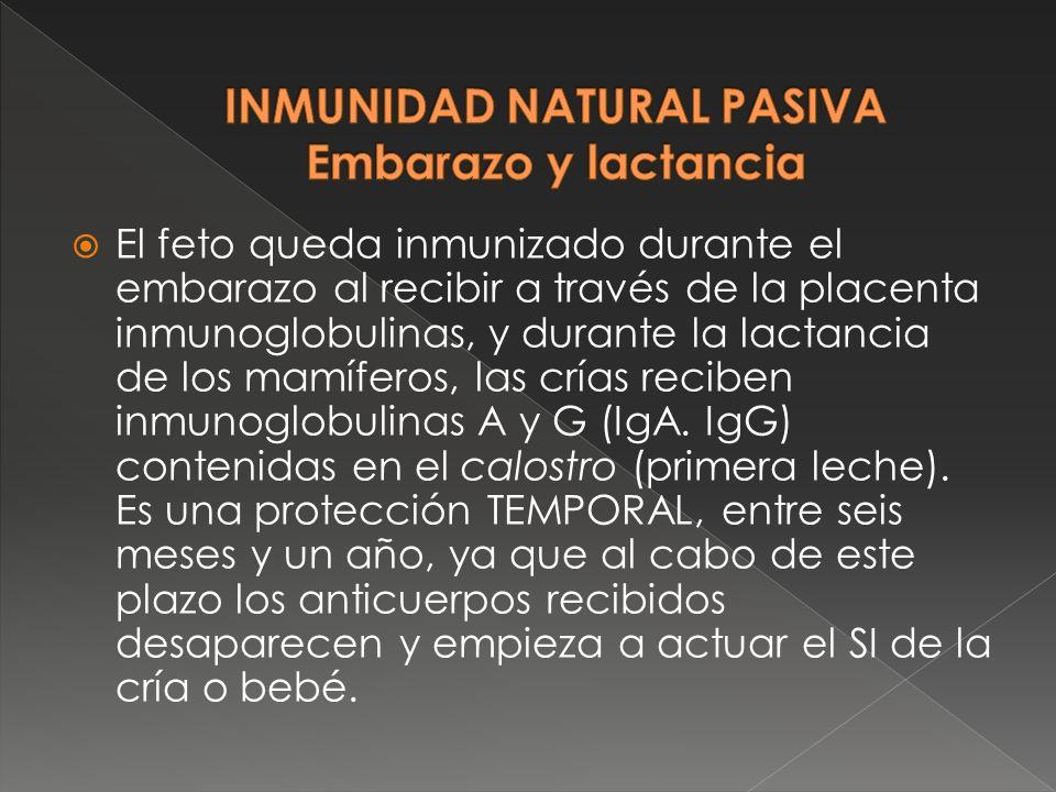 El feto queda inmunizado durante el embarazo al recibir a través de la placenta inmunoglobulinas, y durante la lactancia de los mamíferos, las crías r