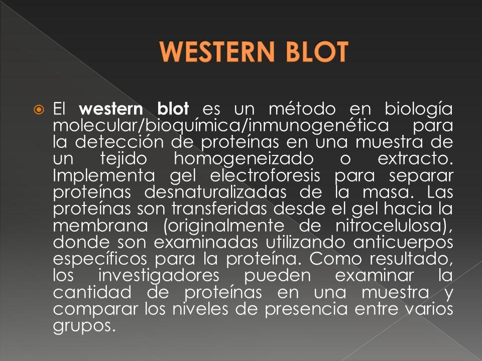 El western blot es un método en biología molecular/bioquímica/inmunogenética para la detección de proteínas en una muestra de un tejido homogeneizado