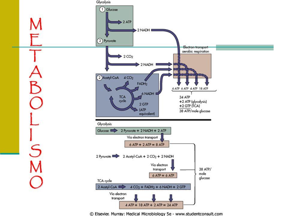 METABOLISMOMETABOLISMOMETABOLISMOMETABOLISMO Síntesis de proteínas bacterianas