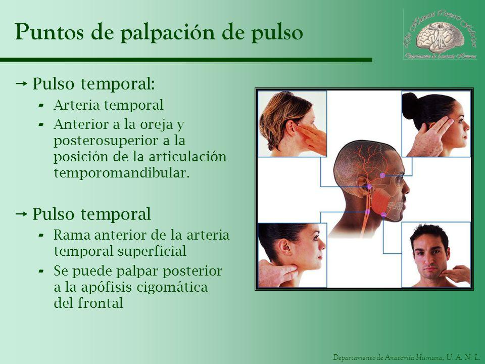 Departamento de Anatomía Humana, U. A. N. L. Puntos de palpación de pulso Pulso temporal: - Arteria temporal - Anterior a la oreja y posterosuperior a