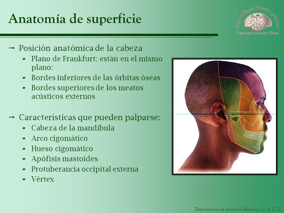 Departamento de Anatomía Humana, U. A. N. L. Anatomía de superficie Posición anatómica de la cabeza - Plano de Frankfurt: están en el mismo plano: - B