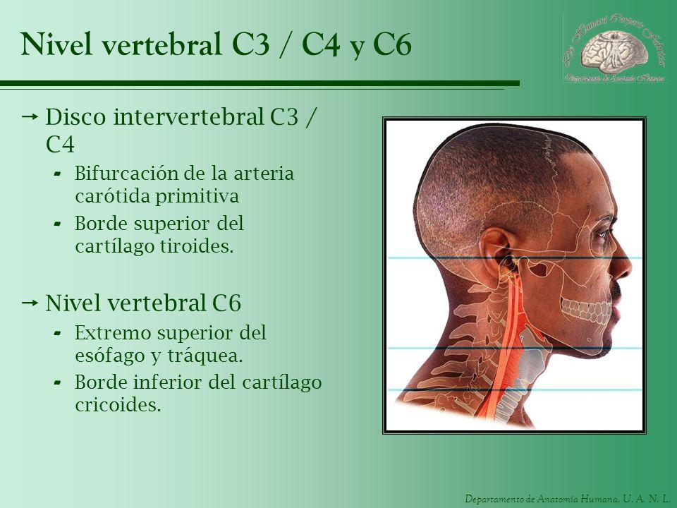 Departamento de Anatomía Humana, U. A. N. L. Nivel vertebral C3 / C4 y C6 Disco intervertebral C3 / C4 - Bifurcación de la arteria carótida primitiva