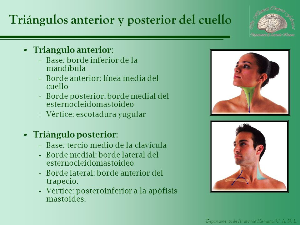 Departamento de Anatomía Humana, U. A. N. L. Triángulos anterior y posterior del cuello - Triangulo anterior: -Base: borde inferior de la mandíbula -B