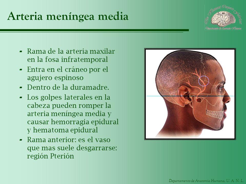 Departamento de Anatomía Humana, U. A. N. L. Arteria meníngea media - Rama de la arteria maxilar en la fosa infratemporal - Entra en el cráneo por el