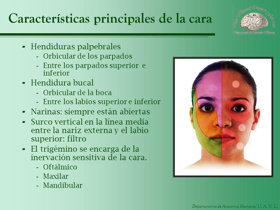 Departamento de Anatomía Humana, U. A. N. L. Características principales de la cara - Hendiduras palpebrales -Orbicular de los parpados -Entre los par