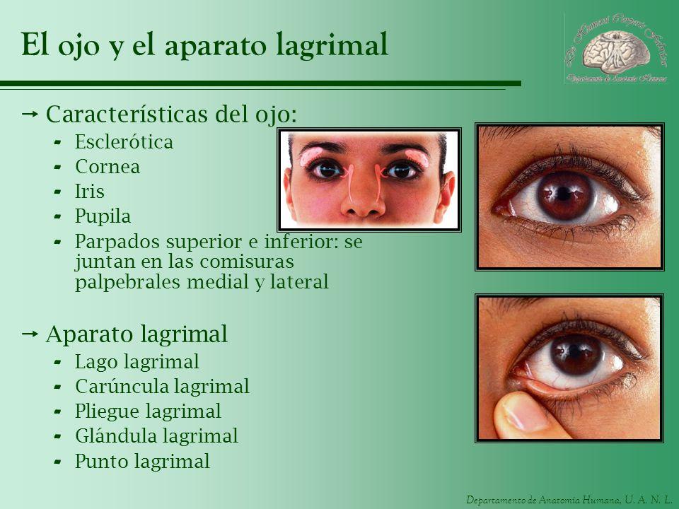 Departamento de Anatomía Humana, U. A. N. L. El ojo y el aparato lagrimal Características del ojo: - Esclerótica - Cornea - Iris - Pupila - Parpados s