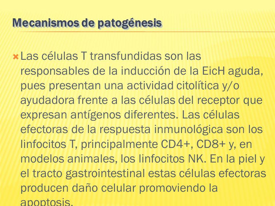 Las células T transfundidas son las responsables de la inducción de la EicH aguda, pues presentan una actividad citolítica y/o ayudadora frente a las