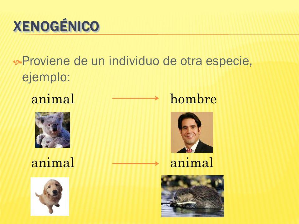 XENOGÉNICOXENOGÉNICO Proviene de un individuo de otra especie, ejemplo: animal hombre animal