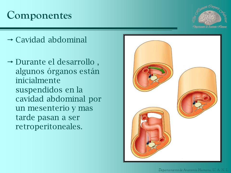 Departamento de Anatomía Humana, U. A. N. L. Componentes Cavidad abdominal Durante el desarrollo, algunos órganos están inicialmente suspendidos en la