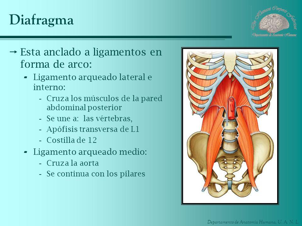 Departamento de Anatomía Humana, U. A. N. L. Diafragma Esta anclado a ligamentos en forma de arco: - Ligamento arqueado lateral e interno: -Cruza los