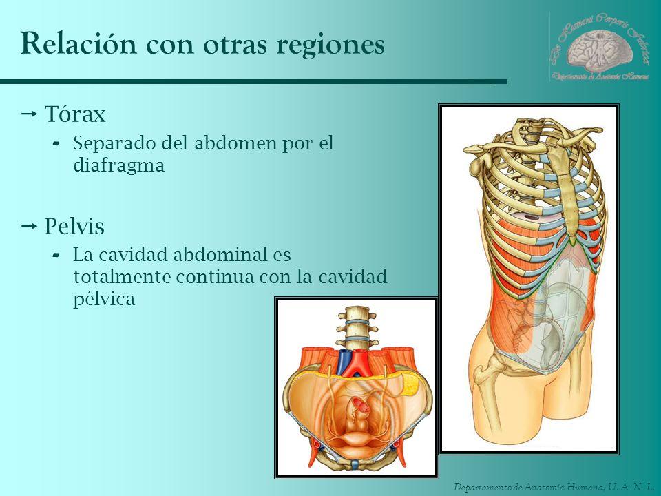 Departamento de Anatomía Humana, U. A. N. L. Relación con otras regiones Tórax - Separado del abdomen por el diafragma Pelvis - La cavidad abdominal e
