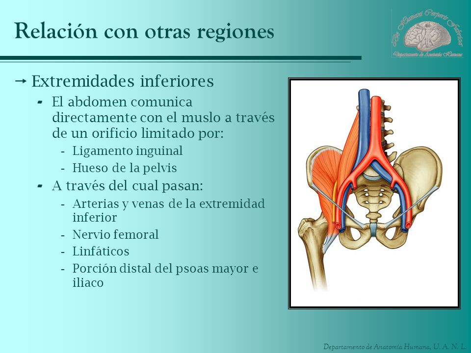 Departamento de Anatomía Humana, U. A. N. L. Relación con otras regiones Extremidades inferiores - El abdomen comunica directamente con el muslo a tra