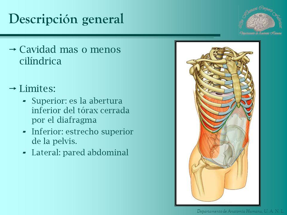 Departamento de Anatomía Humana, U. A. N. L. Descripción general Cavidad mas o menos cilíndrica Limites: - Superior: es la abertura inferior del tórax