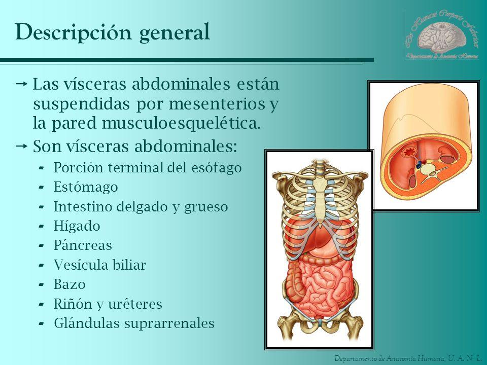 Departamento de Anatomía Humana, U. A. N. L. Descripción general Las vísceras abdominales están suspendidas por mesenterios y la pared musculoesquelét