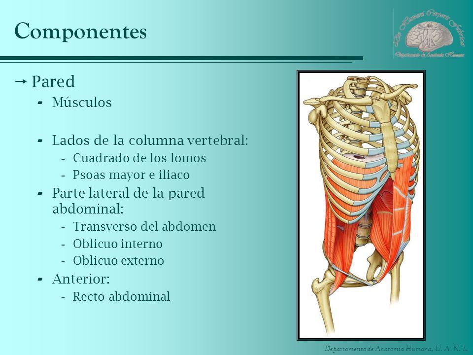 Departamento de Anatomía Humana, U. A. N. L. Componentes Pared - Músculos - Lados de la columna vertebral: -Cuadrado de los lomos -Psoas mayor e iliac