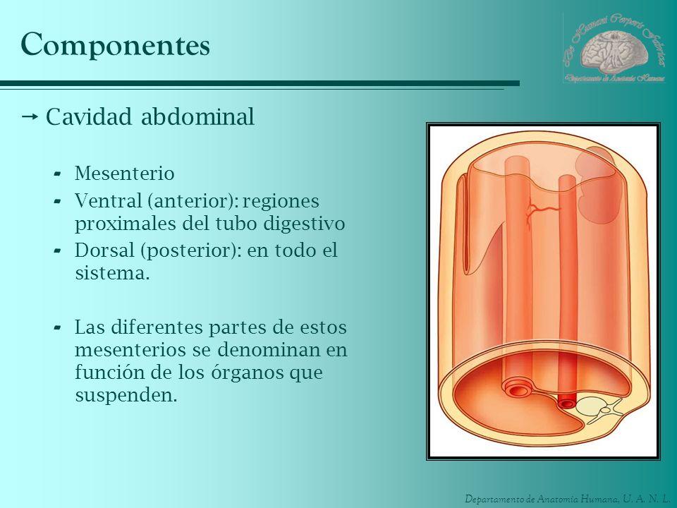 Departamento de Anatomía Humana, U. A. N. L. Componentes Cavidad abdominal - Mesenterio - Ventral (anterior): regiones proximales del tubo digestivo -