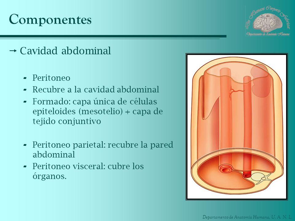 Departamento de Anatomía Humana, U. A. N. L. Componentes Cavidad abdominal - Peritoneo - Recubre a la cavidad abdominal - Formado: capa única de célul