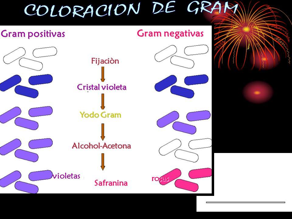Gram positivas Gram negativas Fijaciòn Cristal violeta Yodo Gram Alcohol-Acetona Safranina violetas rosas rosas