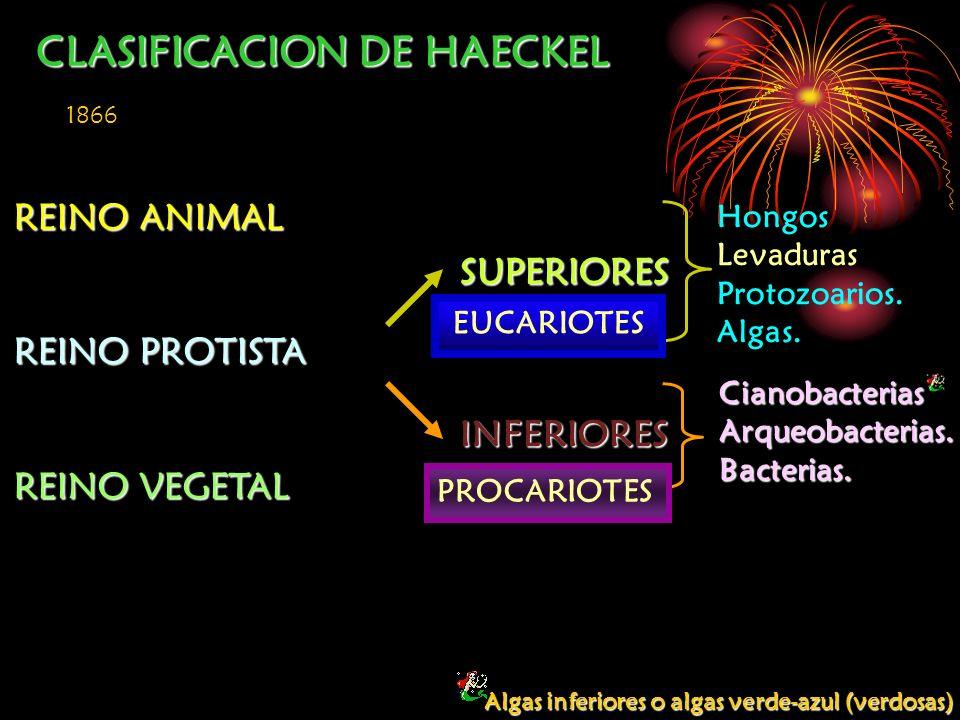 CLASIFICACION DE HAECKEL REINO ANIMAL REINO PROTISTA REINO VEGETAL SUPERIORES INFERIORES 1866 Hongos Levaduras Protozoarios. Algas. CianobacteriasArqu