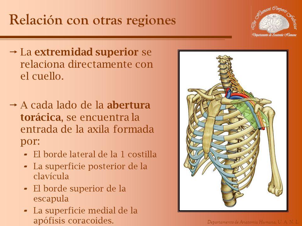 Departamento de Anatomía Humana, U. A. N. L. Relación con otras regiones La extremidad superior se relaciona directamente con el cuello. A cada lado d