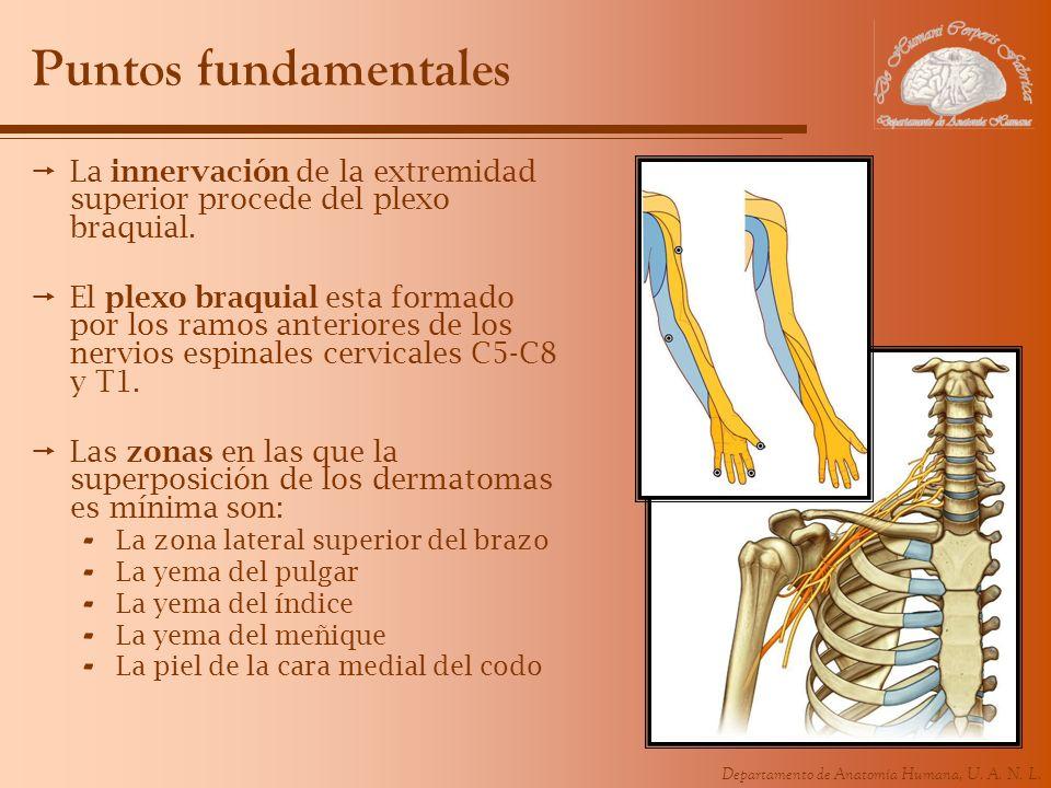 Departamento de Anatomía Humana, U. A. N. L. Puntos fundamentales La innervación de la extremidad superior procede del plexo braquial. El plexo braqui