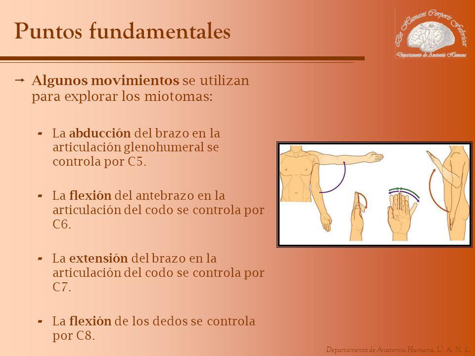 Departamento de Anatomía Humana, U. A. N. L. Puntos fundamentales Algunos movimientos se utilizan para explorar los miotomas: - La abducción del brazo