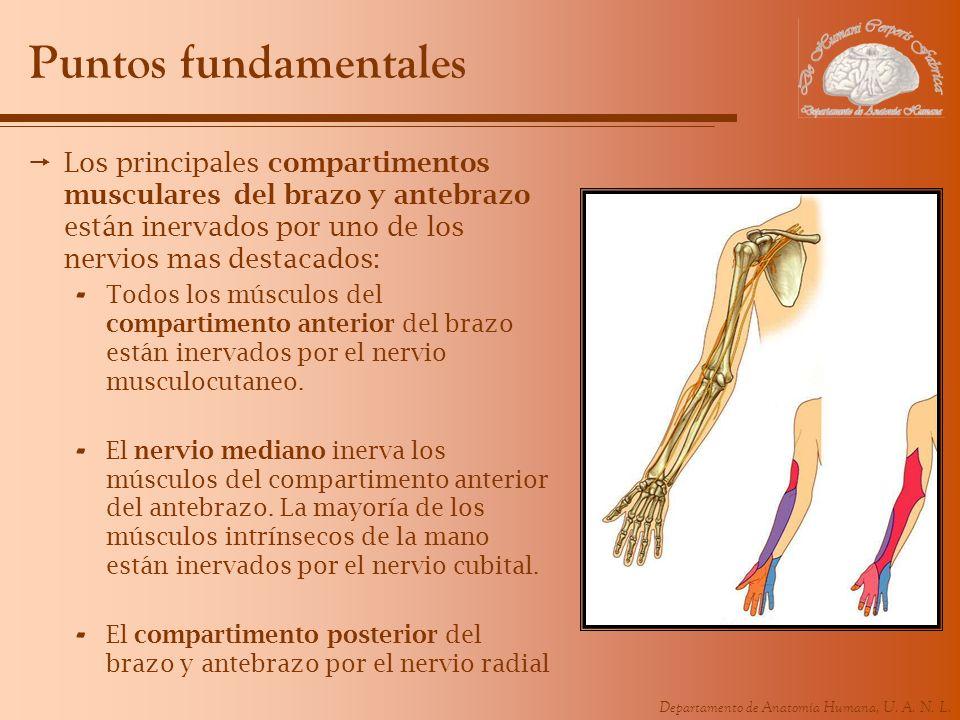 Departamento de Anatomía Humana, U. A. N. L. Puntos fundamentales Los principales compartimentos musculares del brazo y antebrazo están inervados por