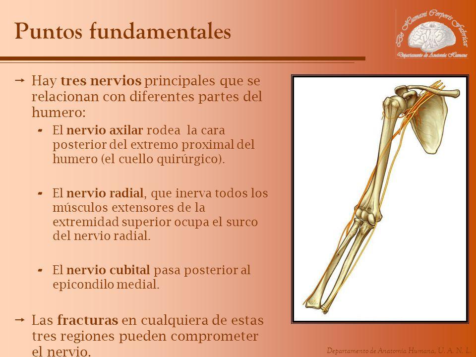 Departamento de Anatomía Humana, U. A. N. L. Puntos fundamentales Hay tres nervios principales que se relacionan con diferentes partes del humero: - E