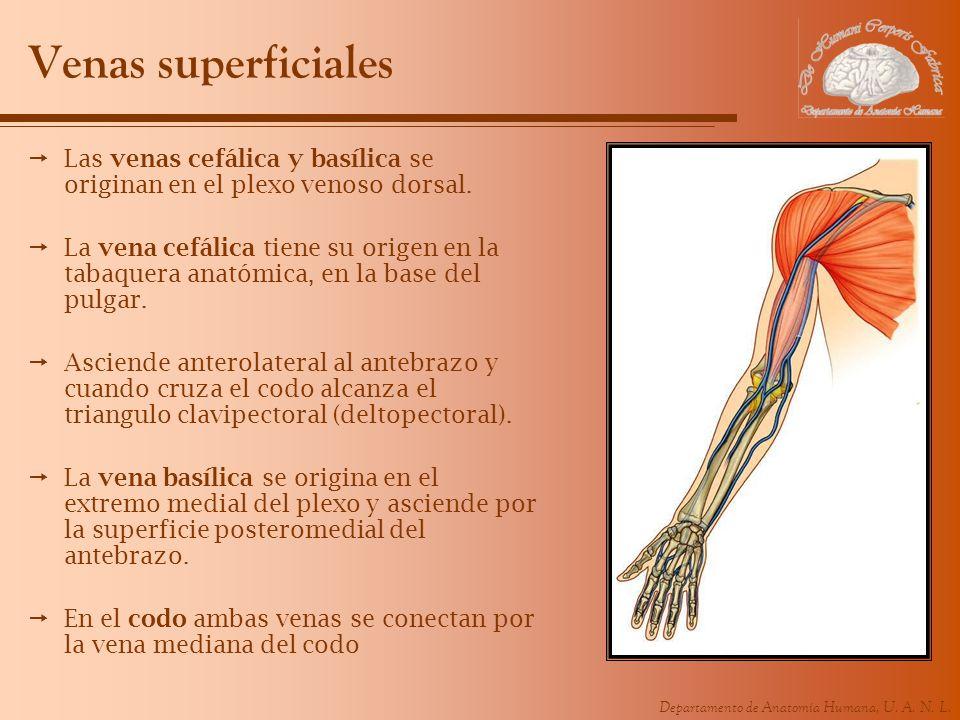 Departamento de Anatomía Humana, U. A. N. L. Venas superficiales Las venas cefálica y basílica se originan en el plexo venoso dorsal. La vena cefálica